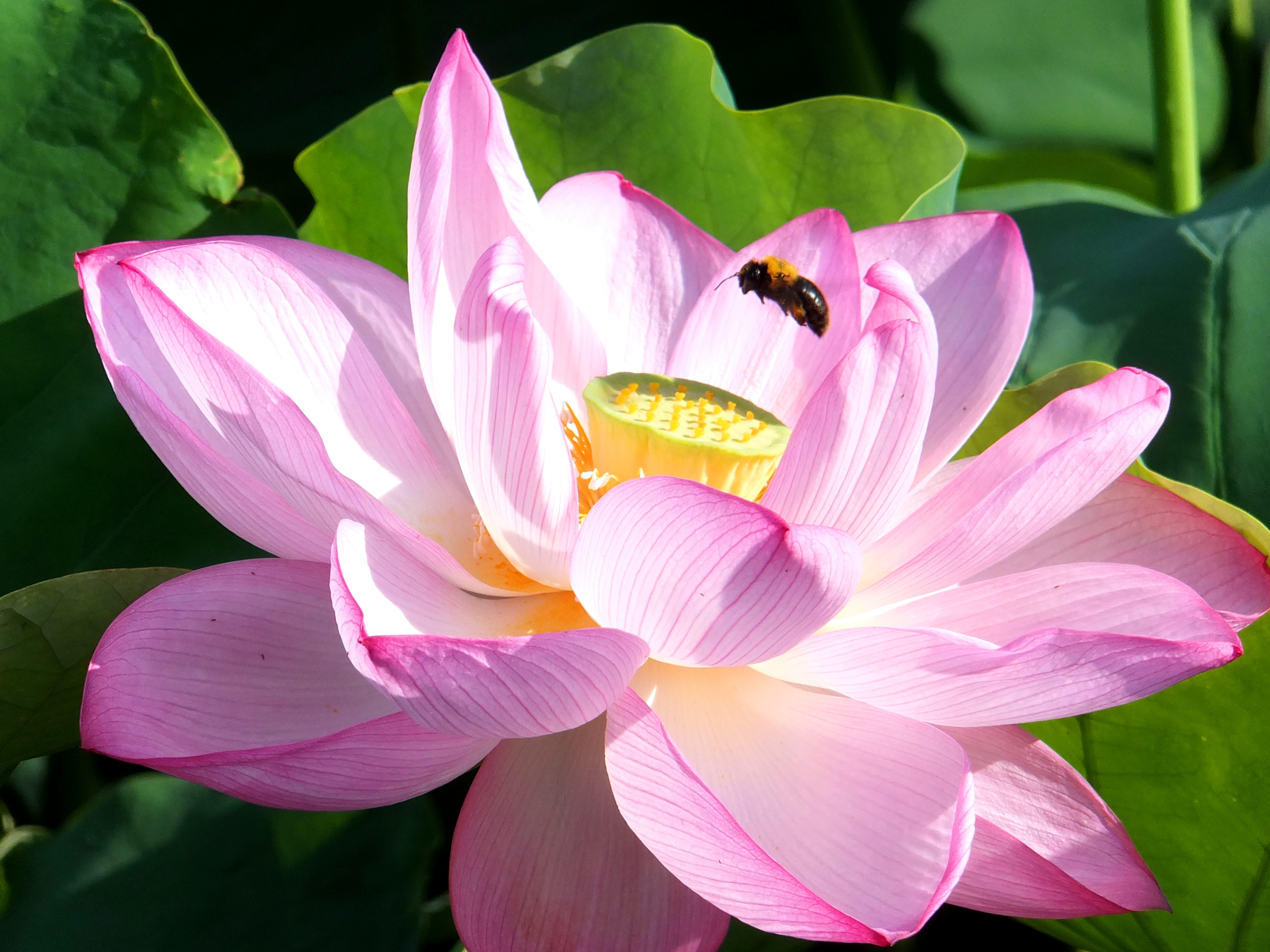 About Summer Procrastination And A Lotus Flower Madame In Japan